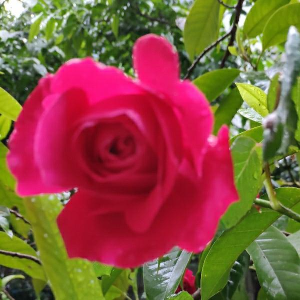 蔷薇泡沫沫