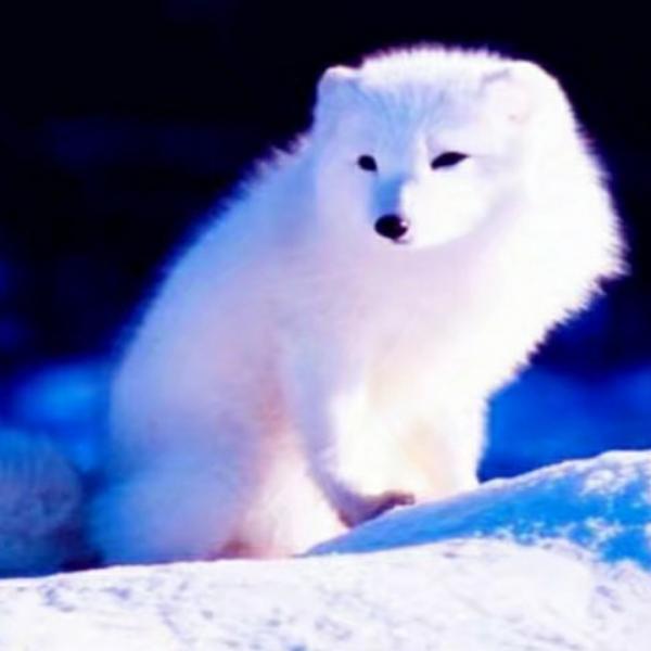 大漠雪狐07