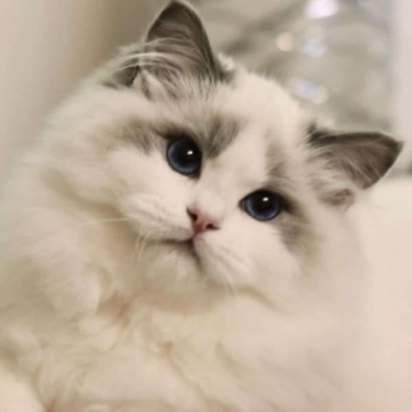 布偶猫眼M