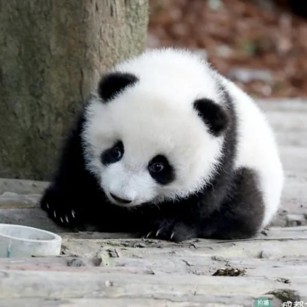 YIBO的熊猫
