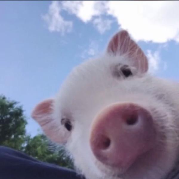 猪猪腹股沟