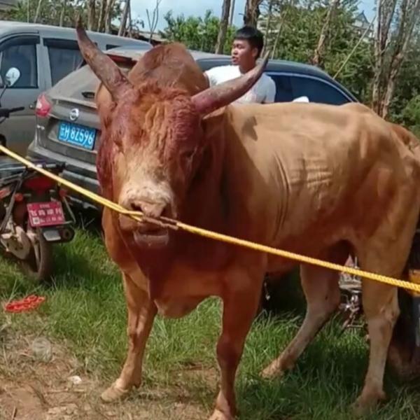 滇南斗牛文化