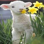 温顺的小绵羊821F9