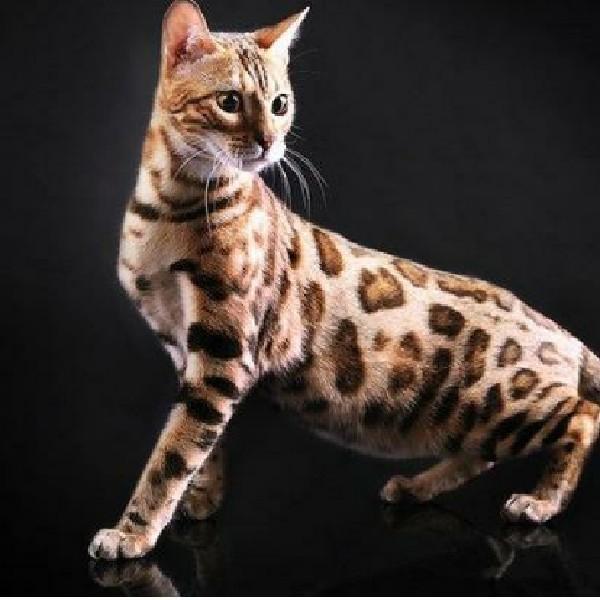 豹猫181