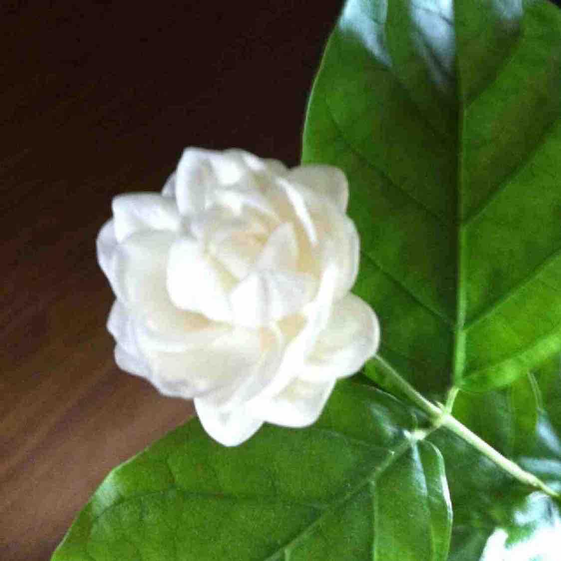 茉莉花儿花了