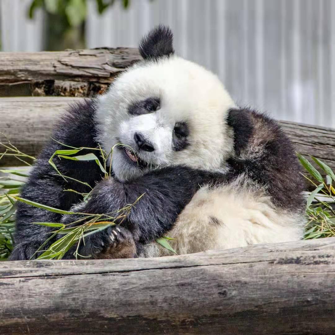 熊猫滚滚社区