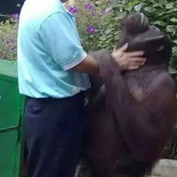 我是红毛猩猩饲养人