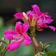 南方的紫荆花