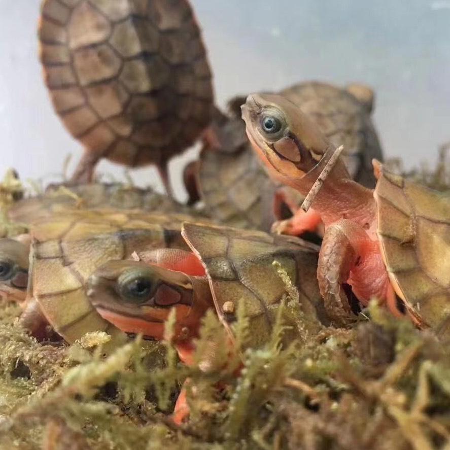 乌龟黄先生