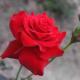 Rose711220