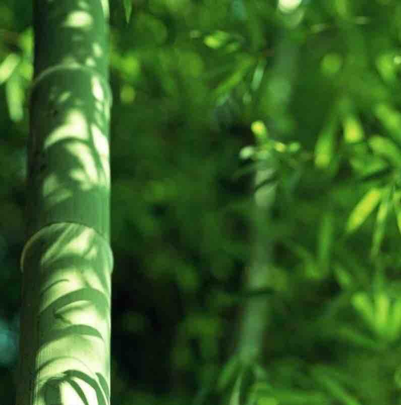 画竹子的熊猫