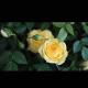 帅帅的甜玫瑰