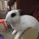 珍珠奶茶是兔子