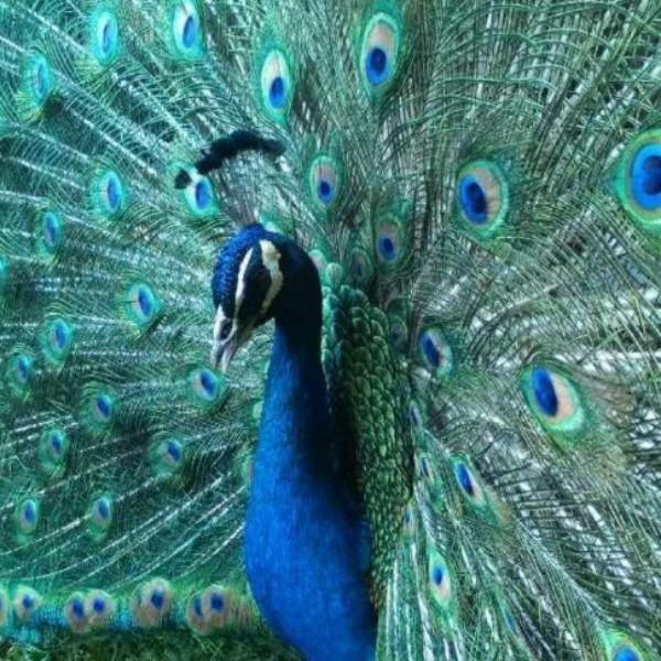 金孔雀蔡蕾