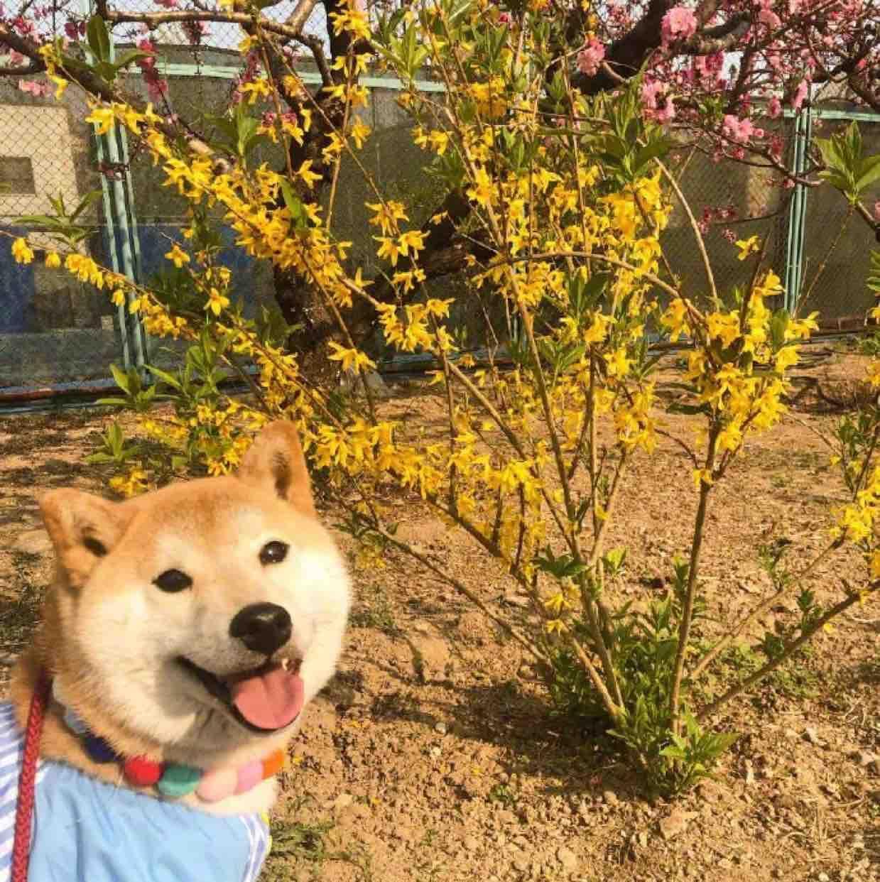 一只可爱小柴犬