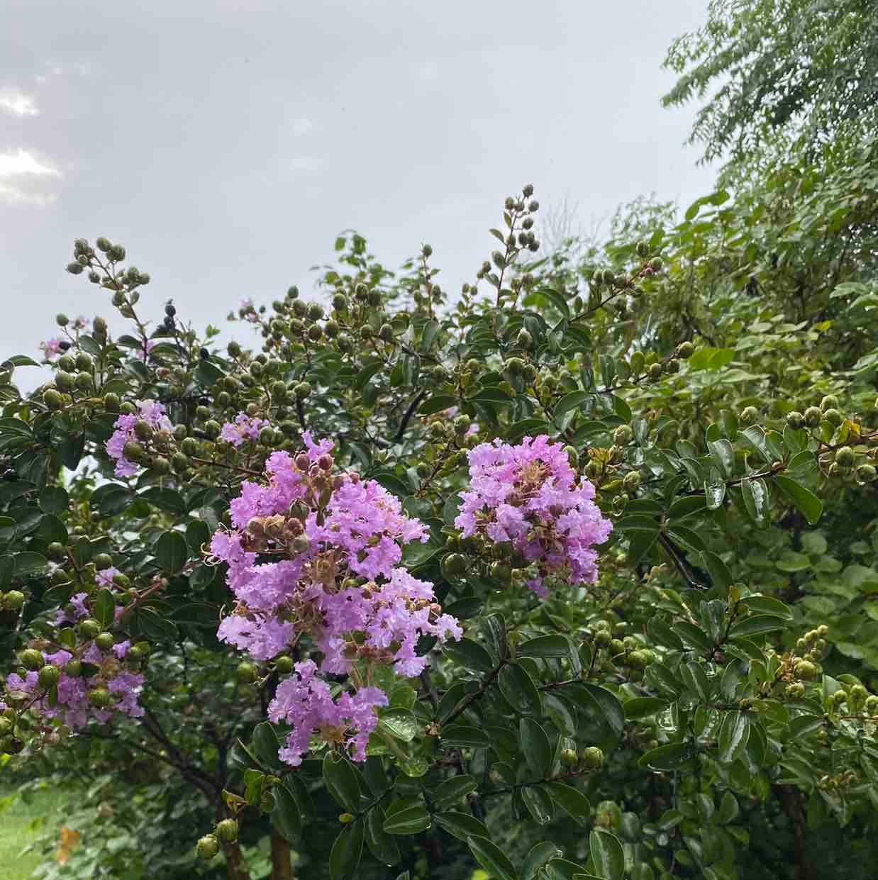 幸福的怡菊