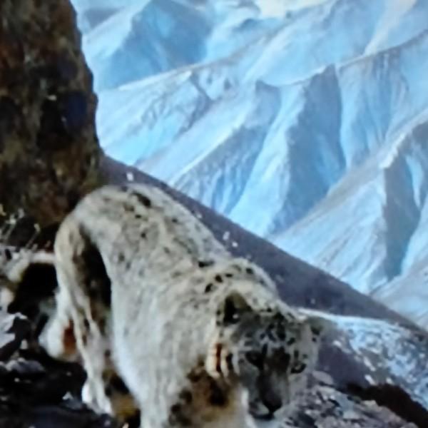 雪山豹59